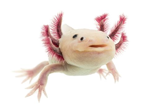 Der Axolotl - mexikanischer Schwanzlurch